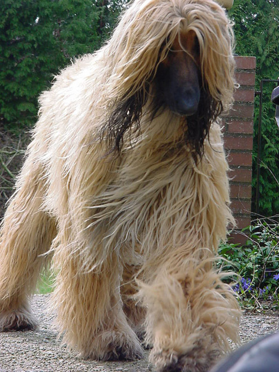 The Afghan Hound requires a lot more daily grooming than I am up to.