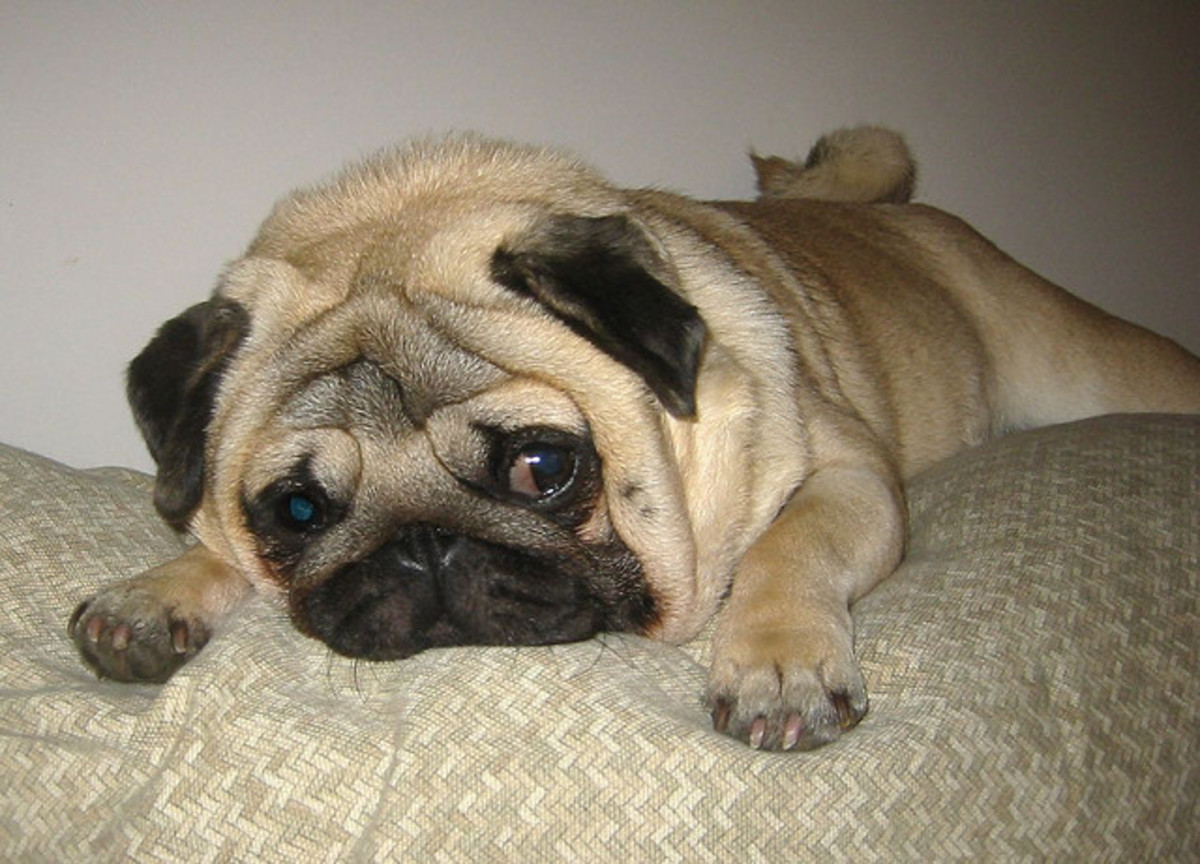 Too cute? Too ugly to be cute? Ask your Pug her opinion.