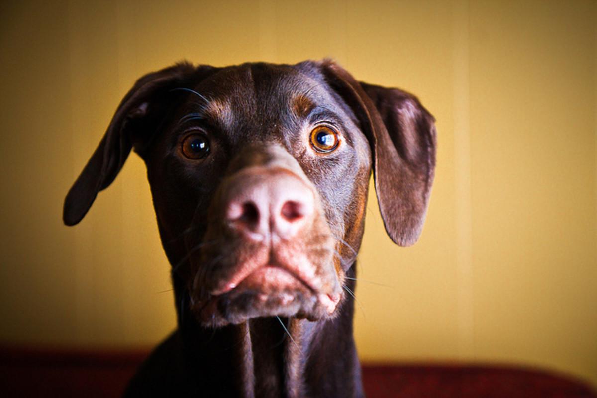 Dog breeds like the Doberman can develop acne.