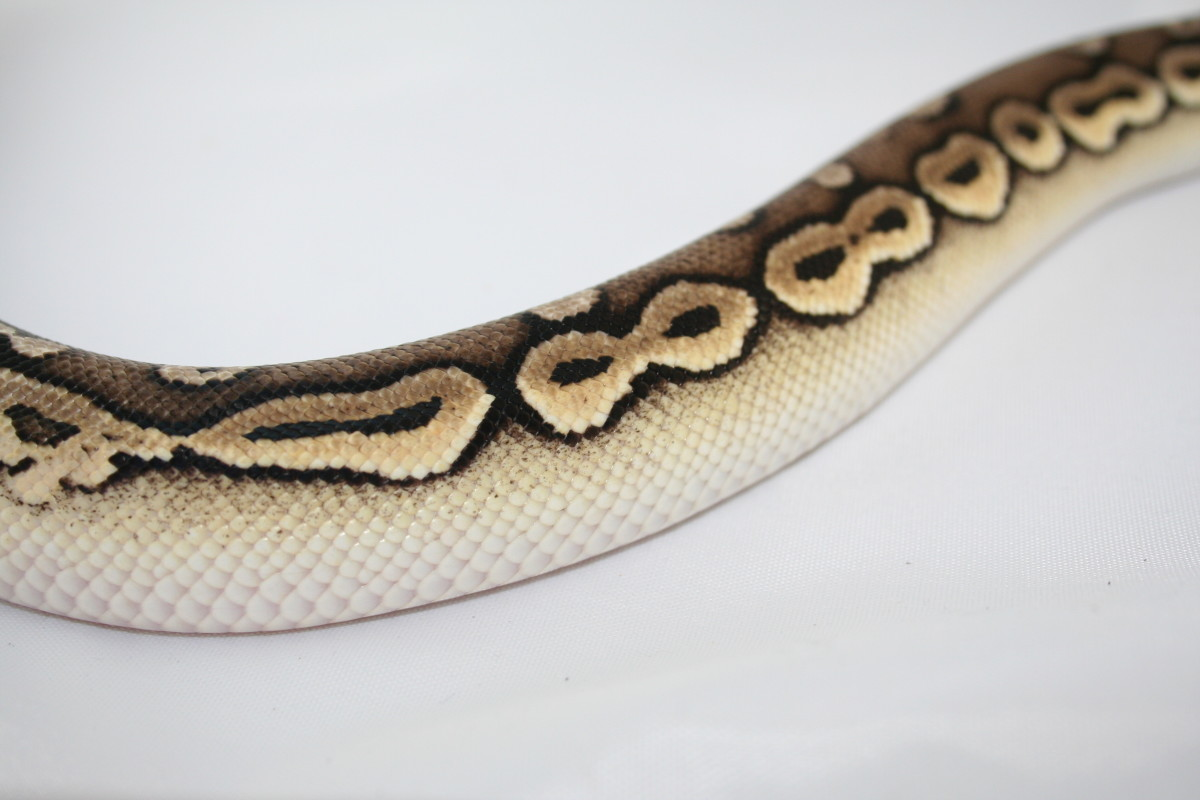 Male pewter ball python named Ouri. What a crazy pattern!