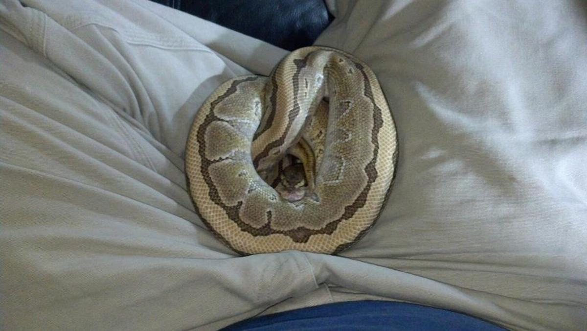 Quite often a tame snake will get comfortable and  curl up in your warm lap. I like to watch movies with mine.