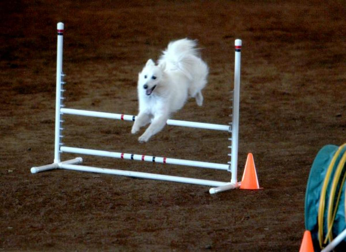 A PVC agility dog jump.  Notice the displaceable PVC bars placed horizontally across the jump. These bars can become a MACH bar trophy.