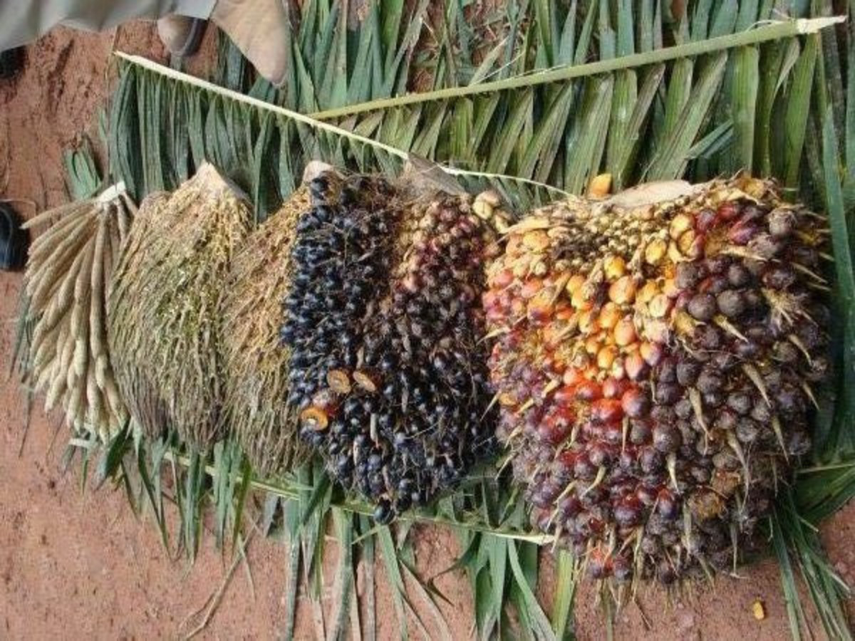 Fruit from the palm tree before it has been made into dende oil, a rich source of Vitamin E.