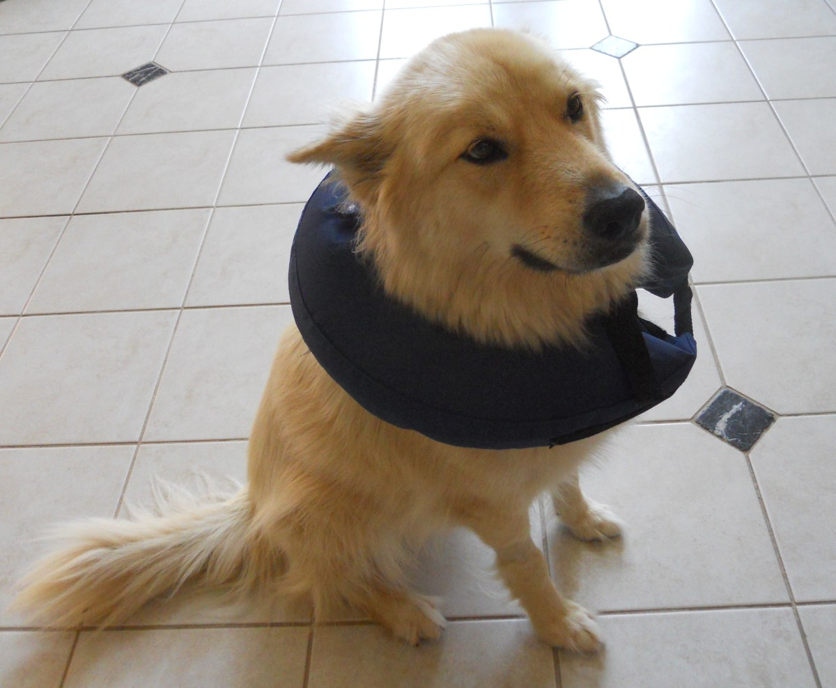 """Bailey with a """"soft"""" recovery collar"""