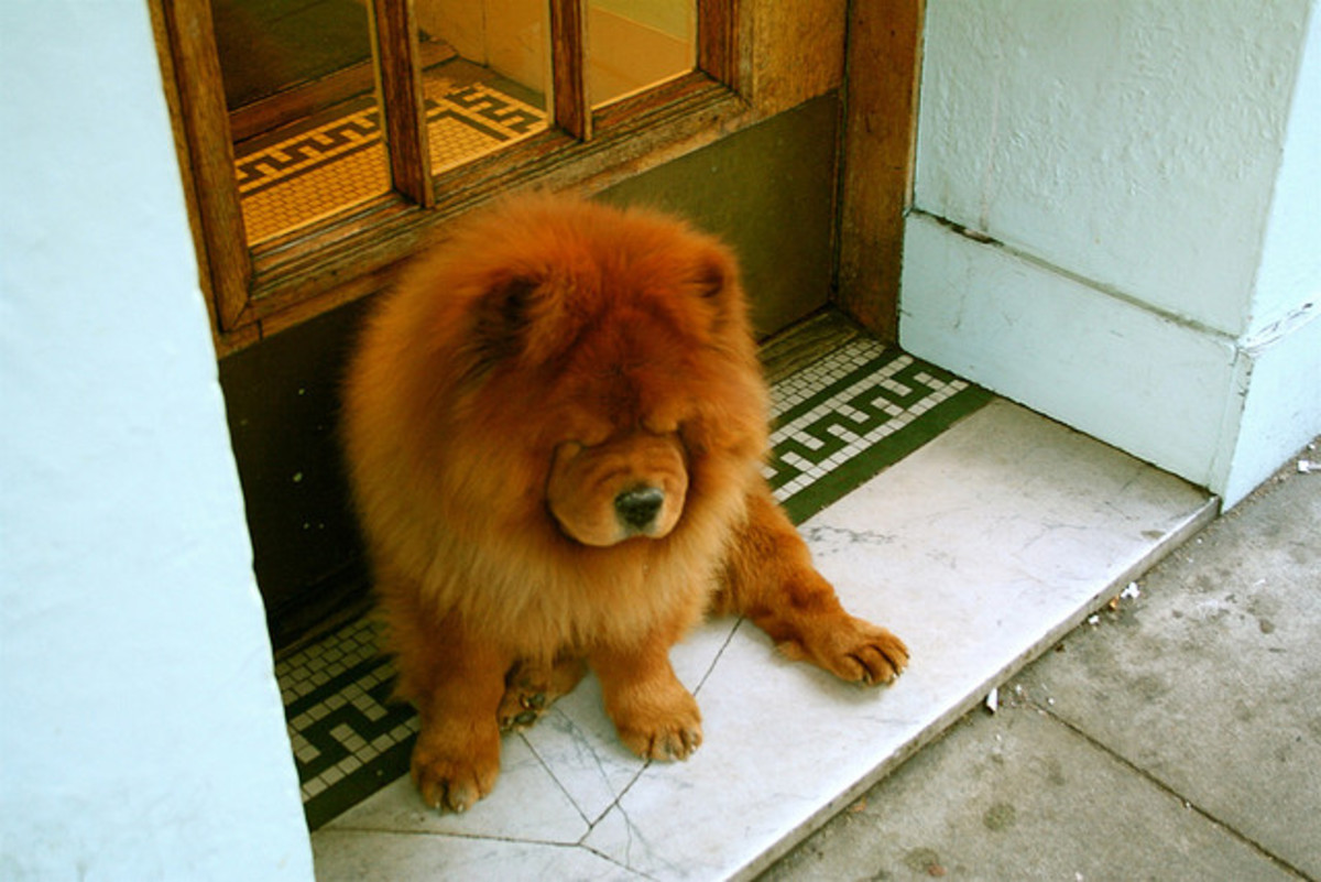 Chow Chows are champion shedders.