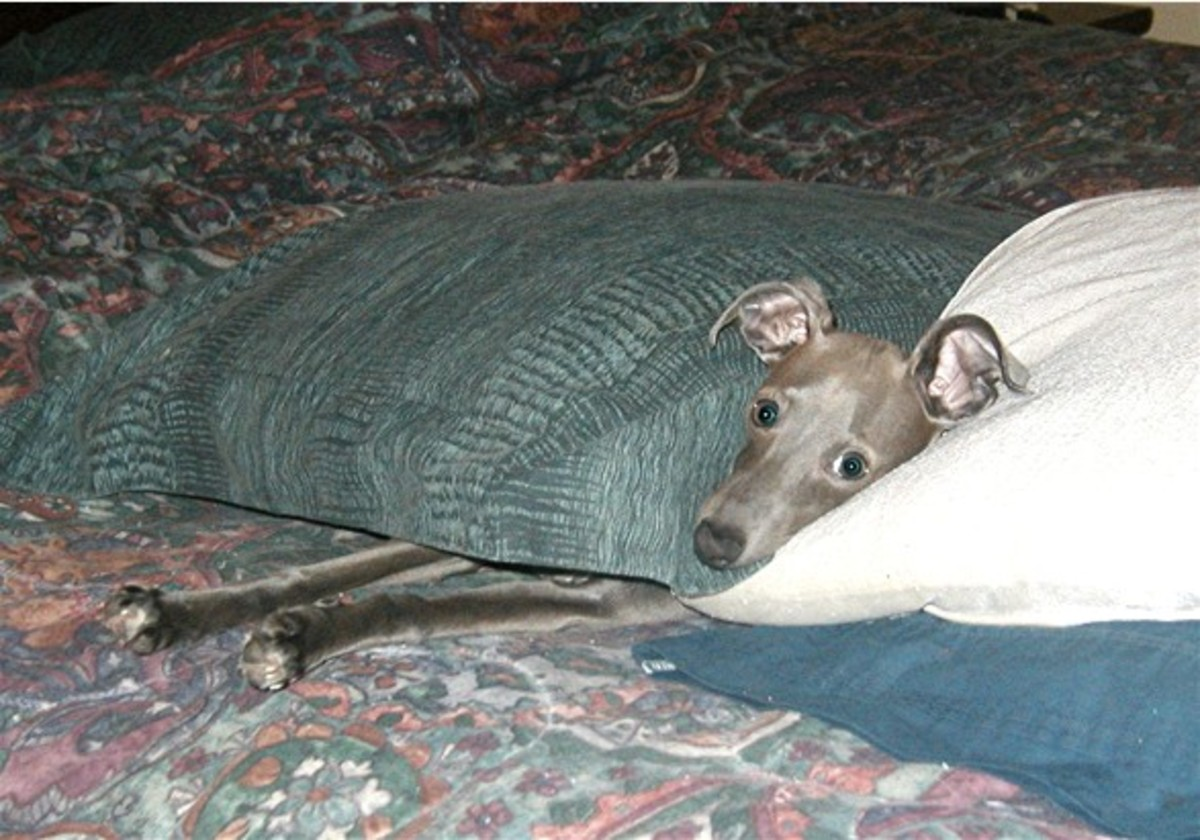 Is an Italian Greyhound the Right Dog for You? | PetHelpful