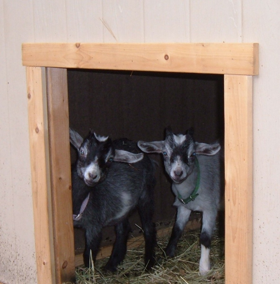 Oliver and Delilah like their new goat house
