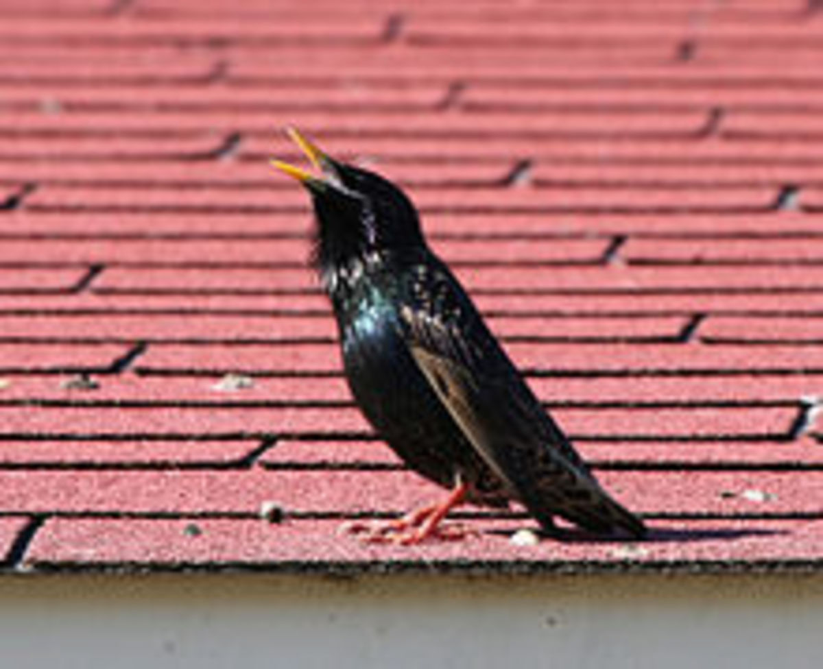 A male European starling displays its long throat feathers.