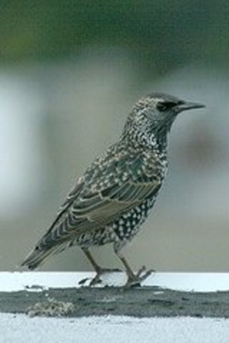 A female starling observes her surroundings.