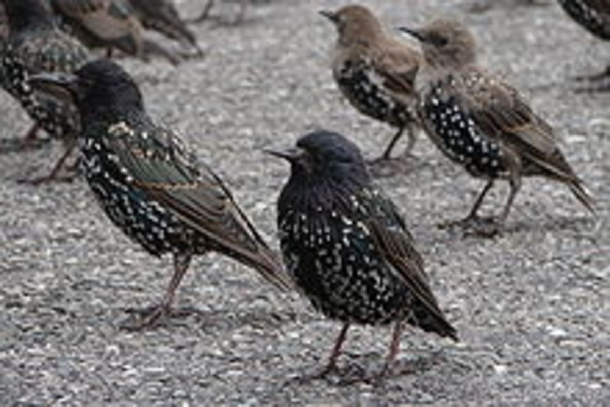 Several female starlings stand in a group.