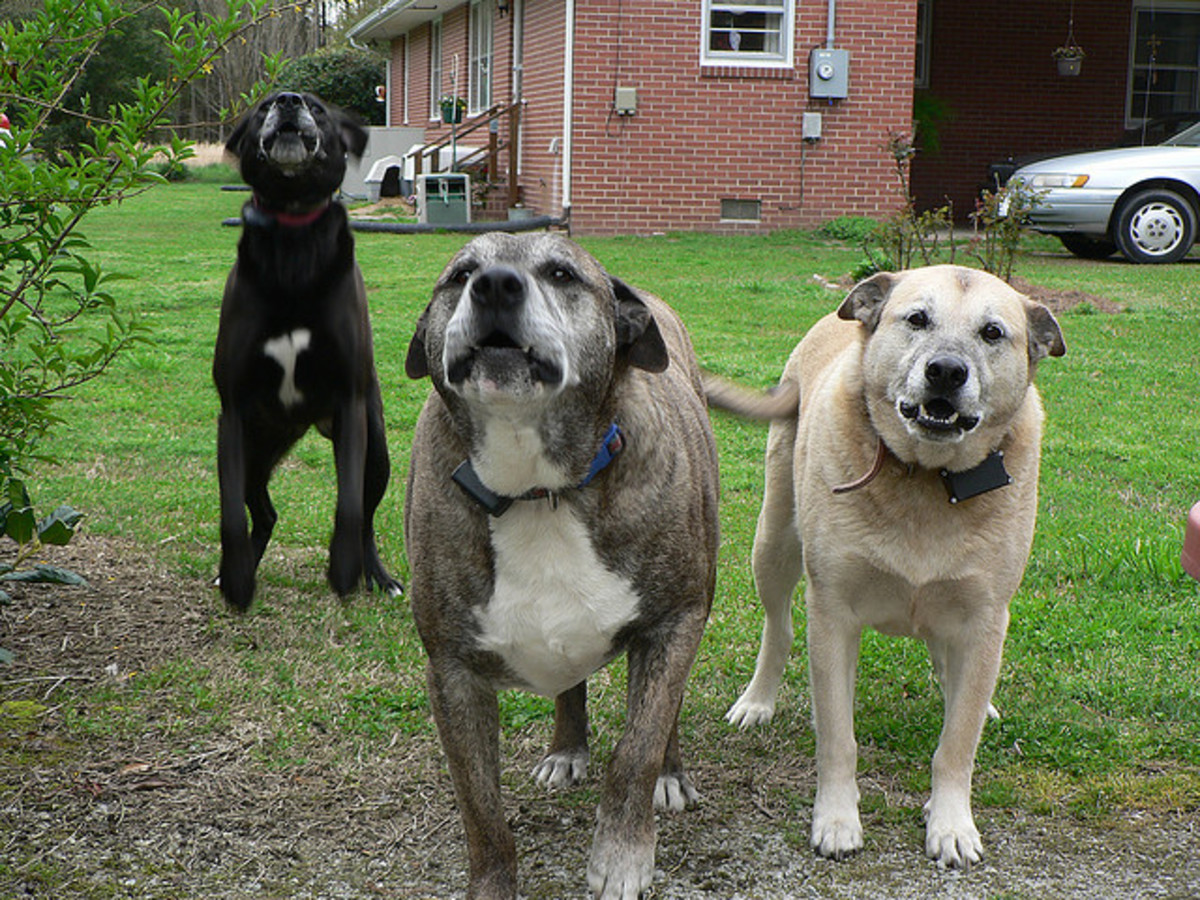 Multiple dogs bark more than solitary dogs.