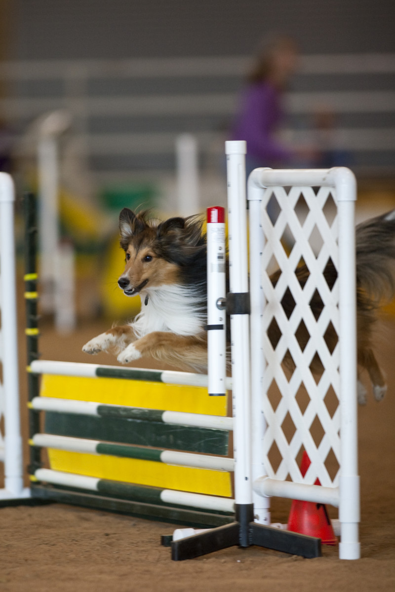 Asher, a sheltie, flying over an agility jump.  For more dog info, check out akc.org.