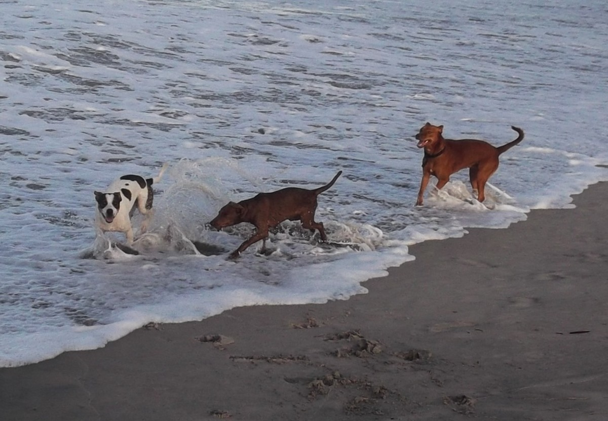 Heartworm free dogs on the beach.