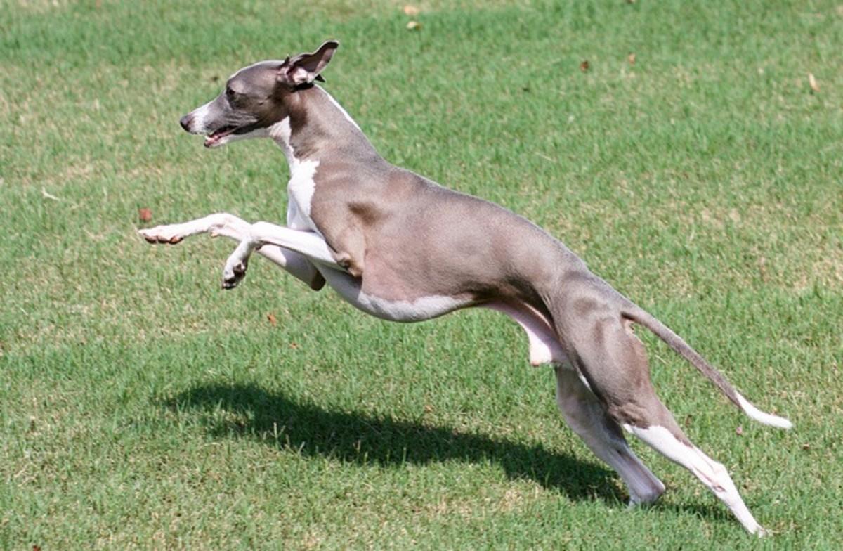An Italian Greyhound out running.