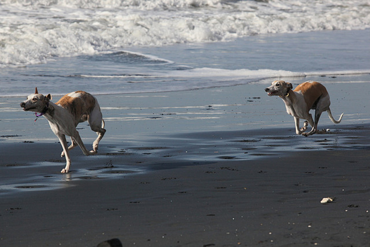 Whippets at the beach.