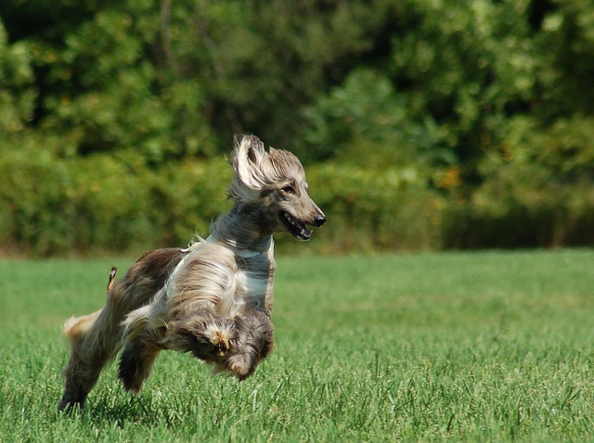 An Afghan Hound running.