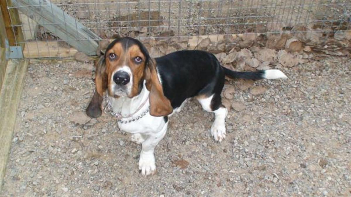 Basset Hounds often develop back and joint problems.