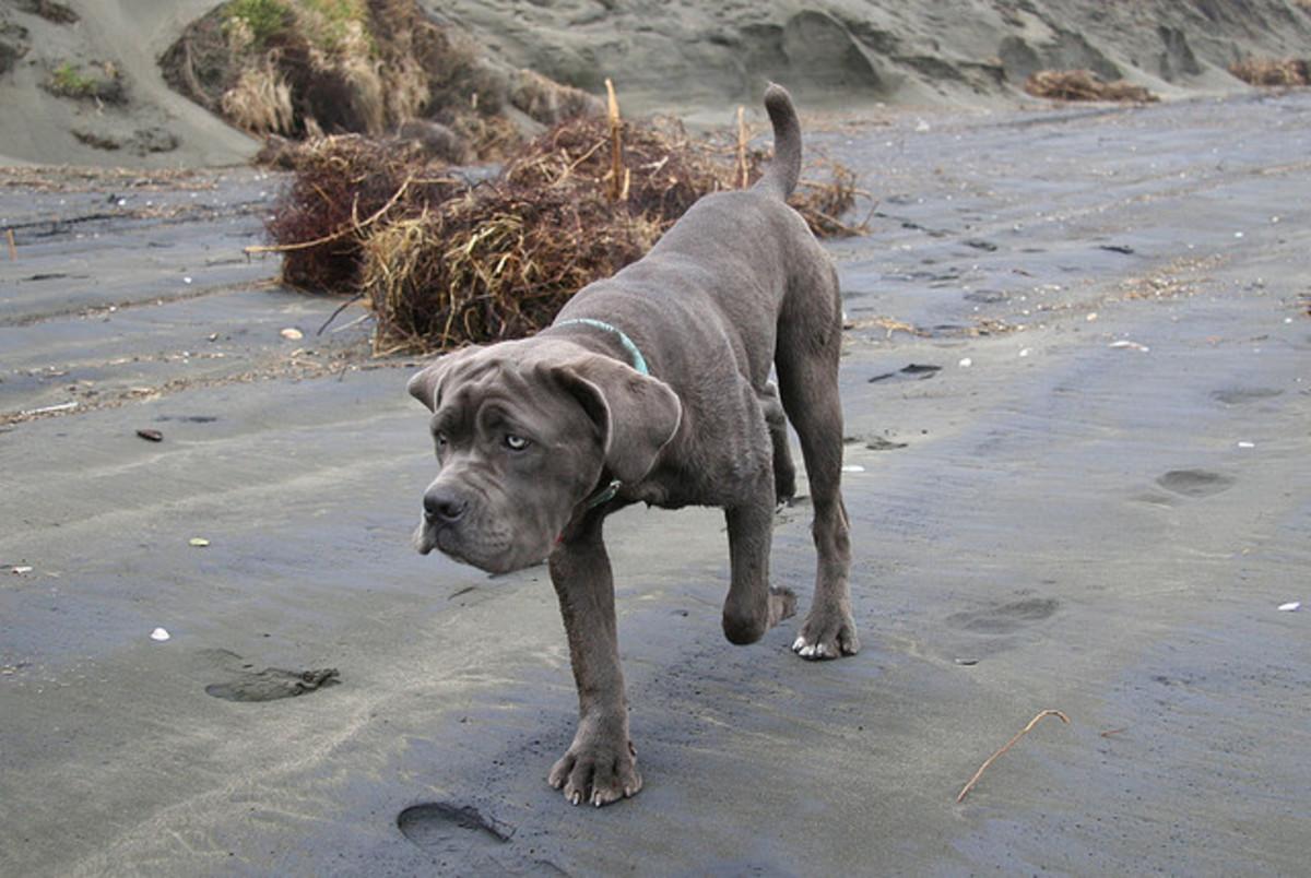 Neapolitan Mastiff.