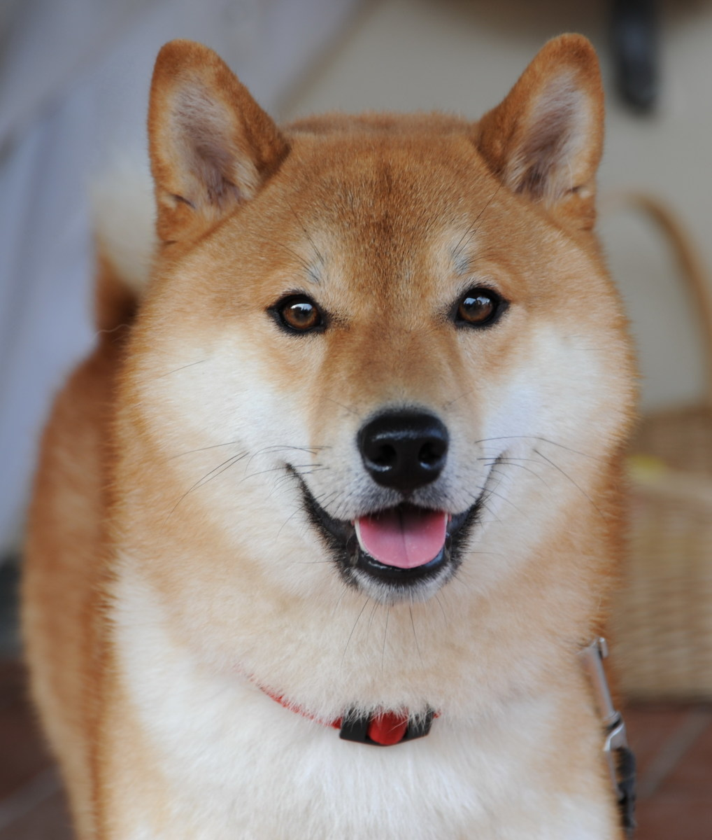 A Shiba Inu is a good choice if you want a dog that can be on its own for long periods while you are at work.