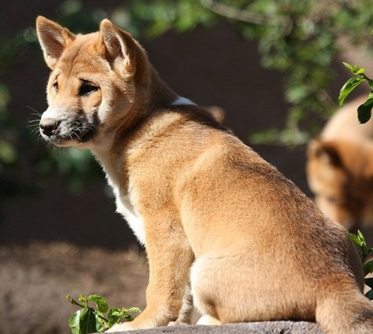 Five Dog Breeds that Dont Bark, Much