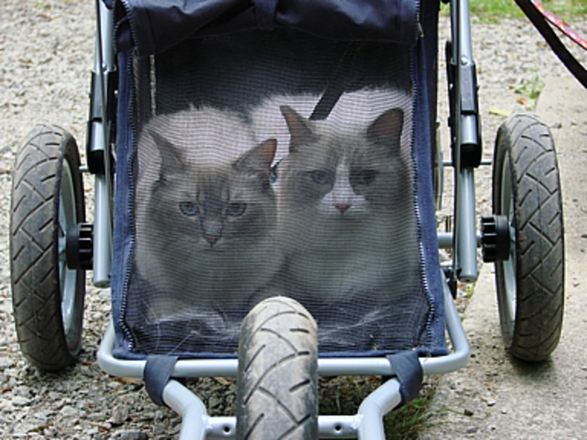 Bennie and Nevin are ragdoll cats. Here they are in the cat stroller.
