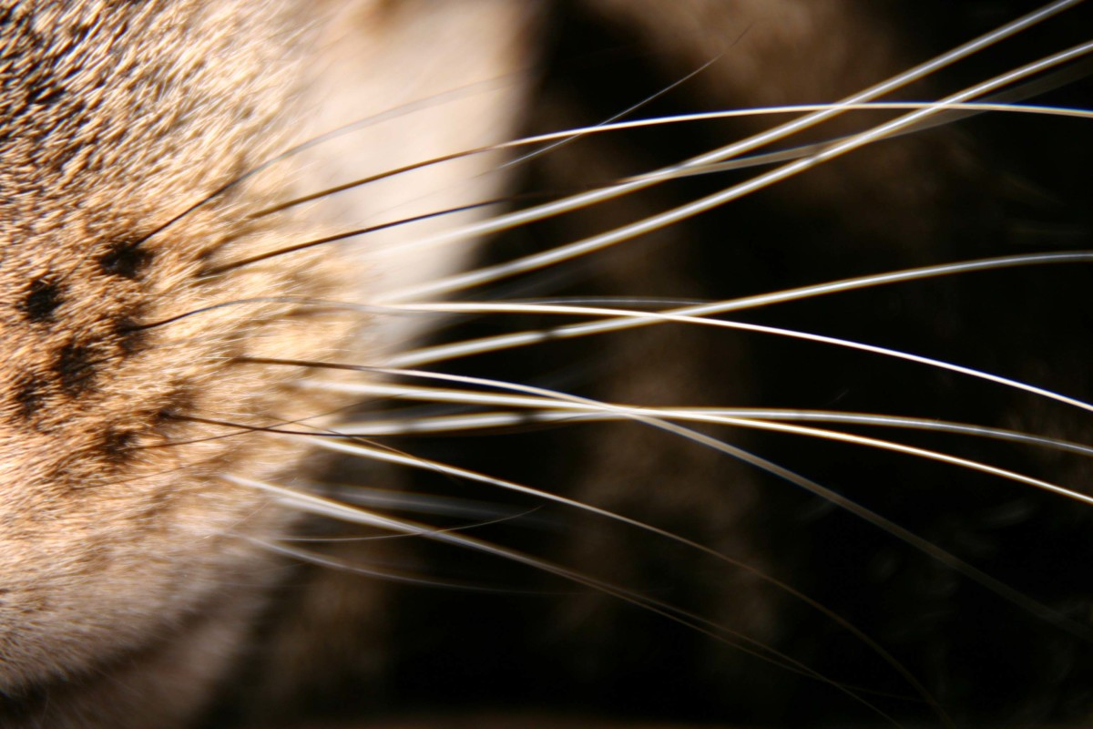 Cats should have whiskers on its cheeks and above its eyes. They are usually twice as thick as the fur and very long. They are usually shorter in outdoor cats, since they have more things that may shorten their legnth.