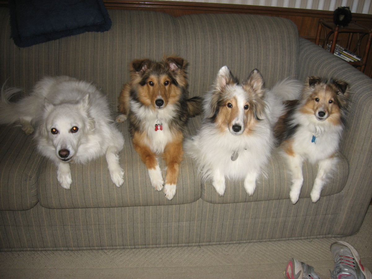 The author's dogs, including the recently deceased American Eskimo, Laika.