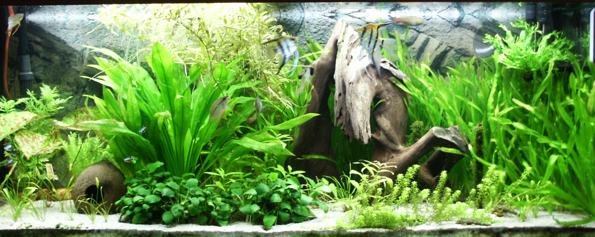 Perfect tank environment for keeping angelfish but not for breeding them.