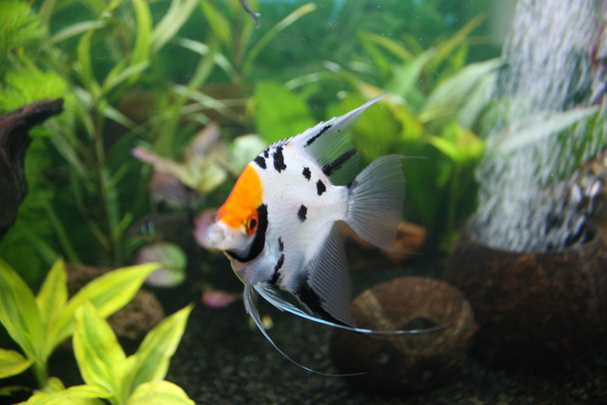 Notice the partial line in both the dorsal fin and anal fin... this is a trait that I would avoid if breeding Koi angels. What you want to avoid is any hint of the Zebra type fish.