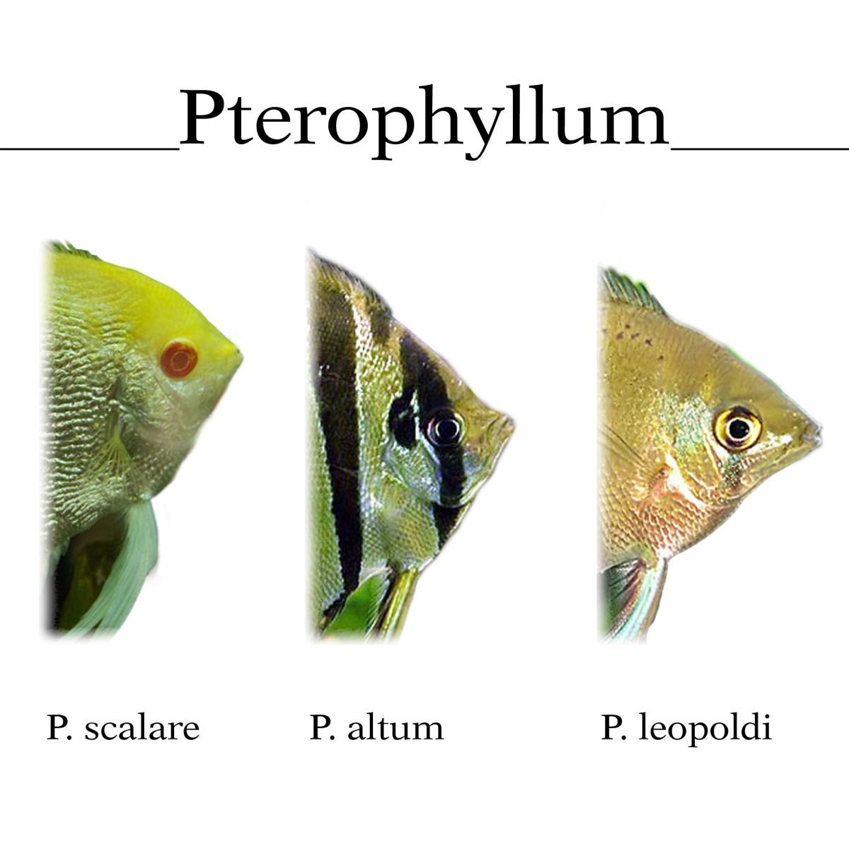 Species of Angelfish