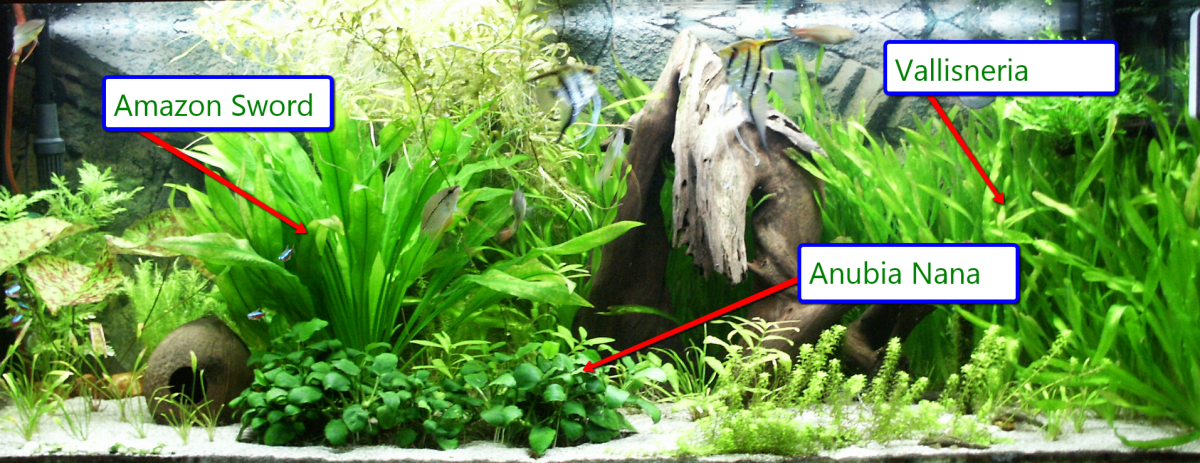 Ideal aquarium plants for angelfish (text boxes added by me).