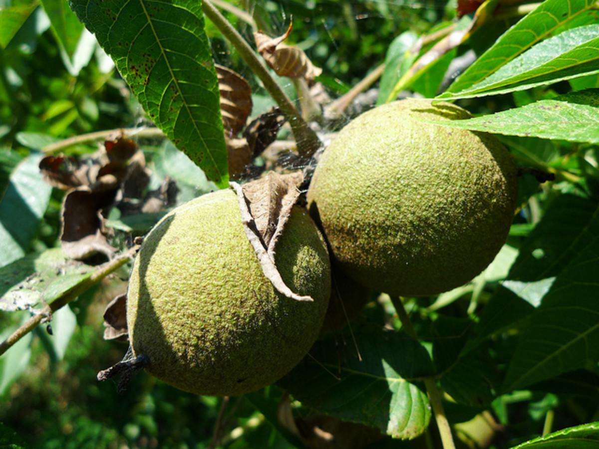 Black walnut still on the tree.