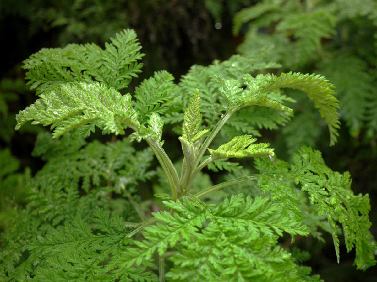 Wormwood, one of the ingredients of herbal heartworm therapy.