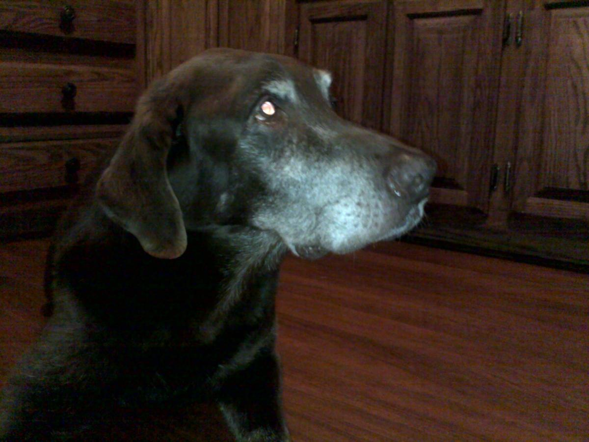 Our 14 yr. old chocolate lab, Scooby,  was purchased from a pet store that dealt with breeders, since then (for personal reasons) we have committed to rescuing shelter dogs instead of buying purebreds