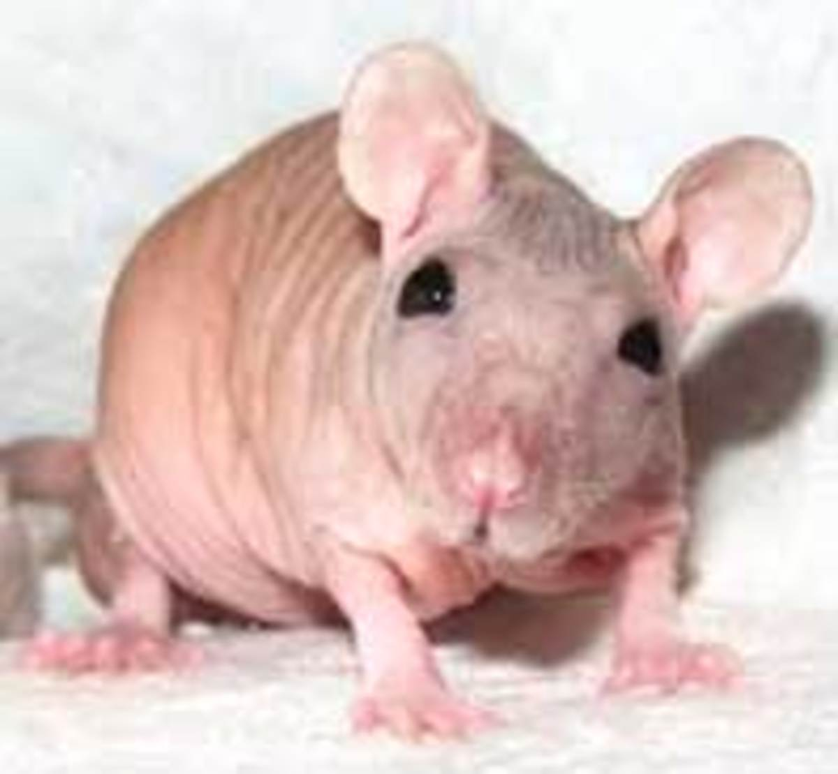 Hairless rats can make for endearing pets to some while others think they have a pretty big 'ick' factor going.