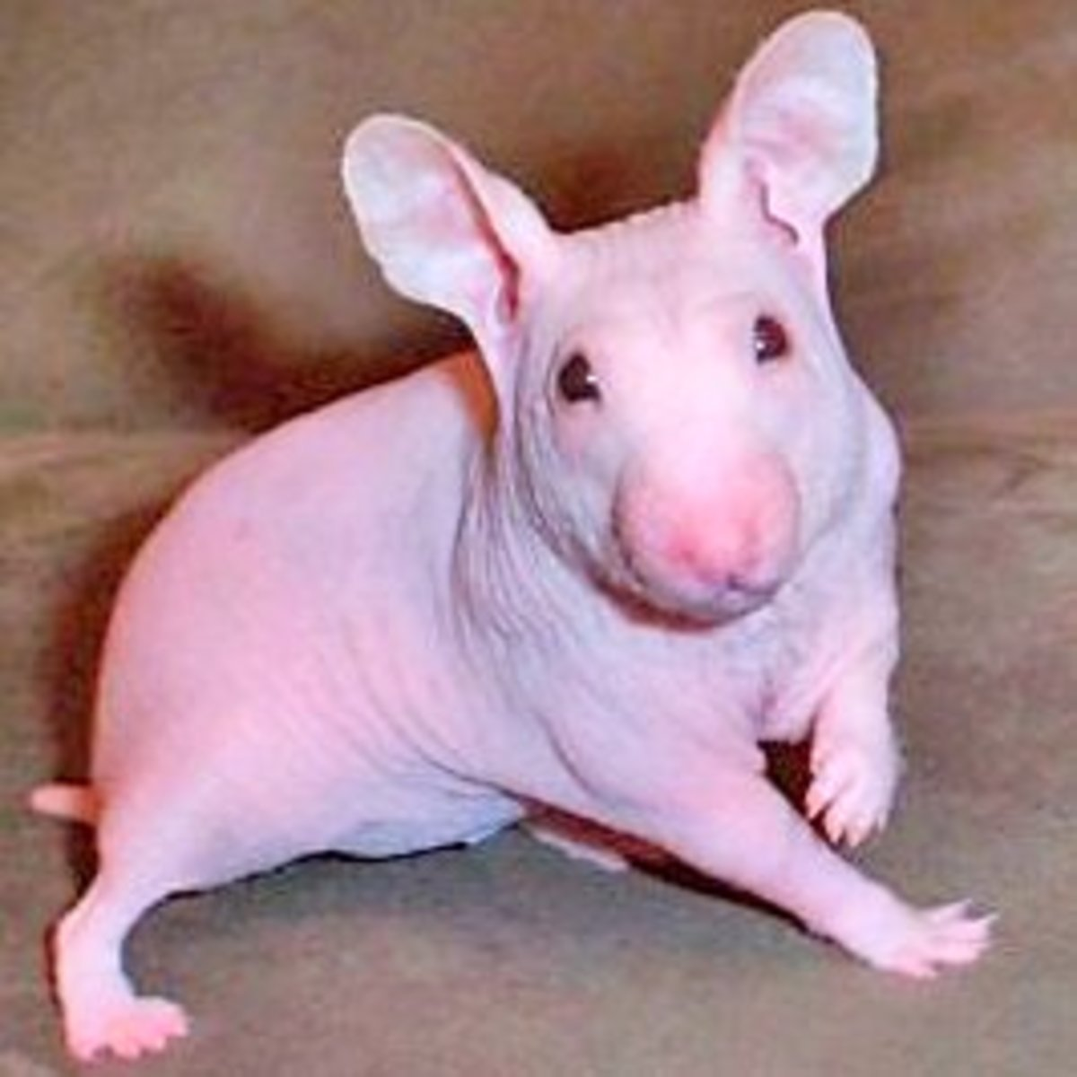 """""""Alien hamsters"""" are hairless hamsters that are usually bred purposefully."""