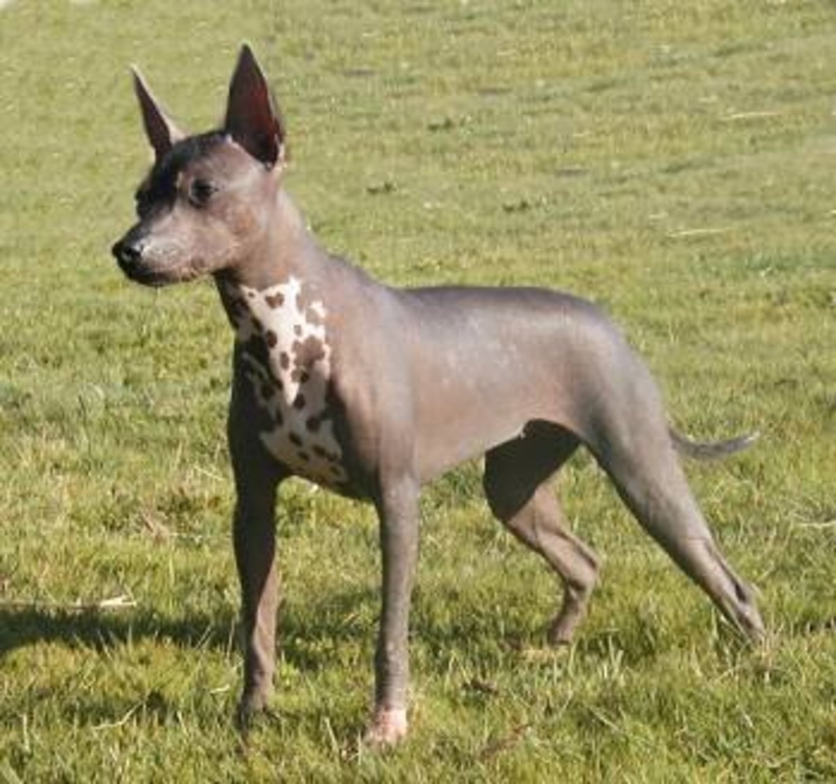 Xolos are but one type of hairless dog breeds on the market today.