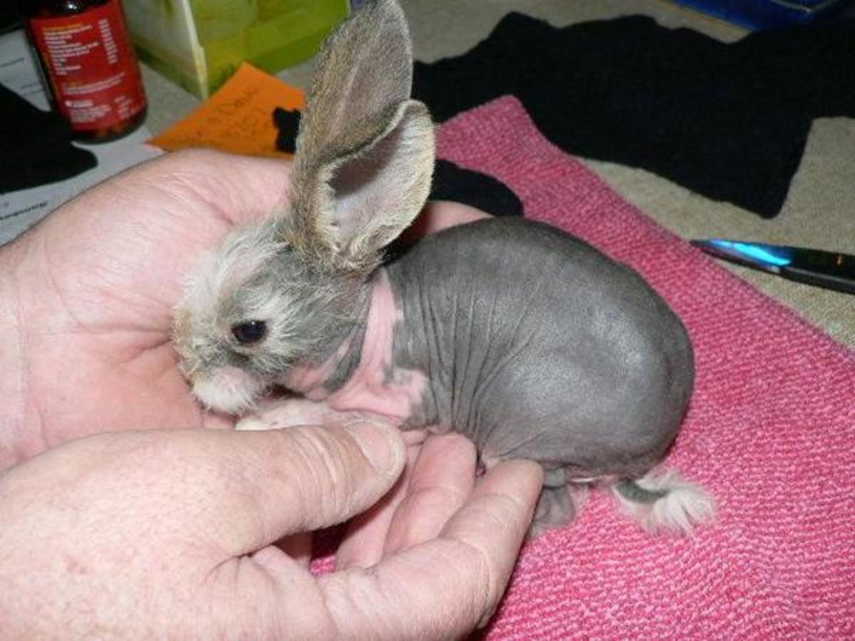 Hairless bunnies pop up as spontaneous mutations fairly frequently but  often die early-on in their lives.