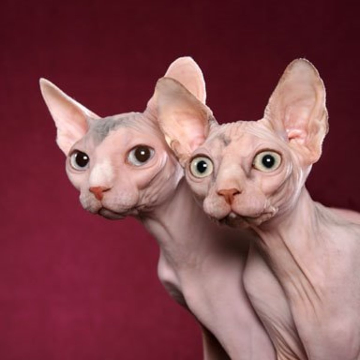 Several cat breeds are hairless, including these curious sphynx.