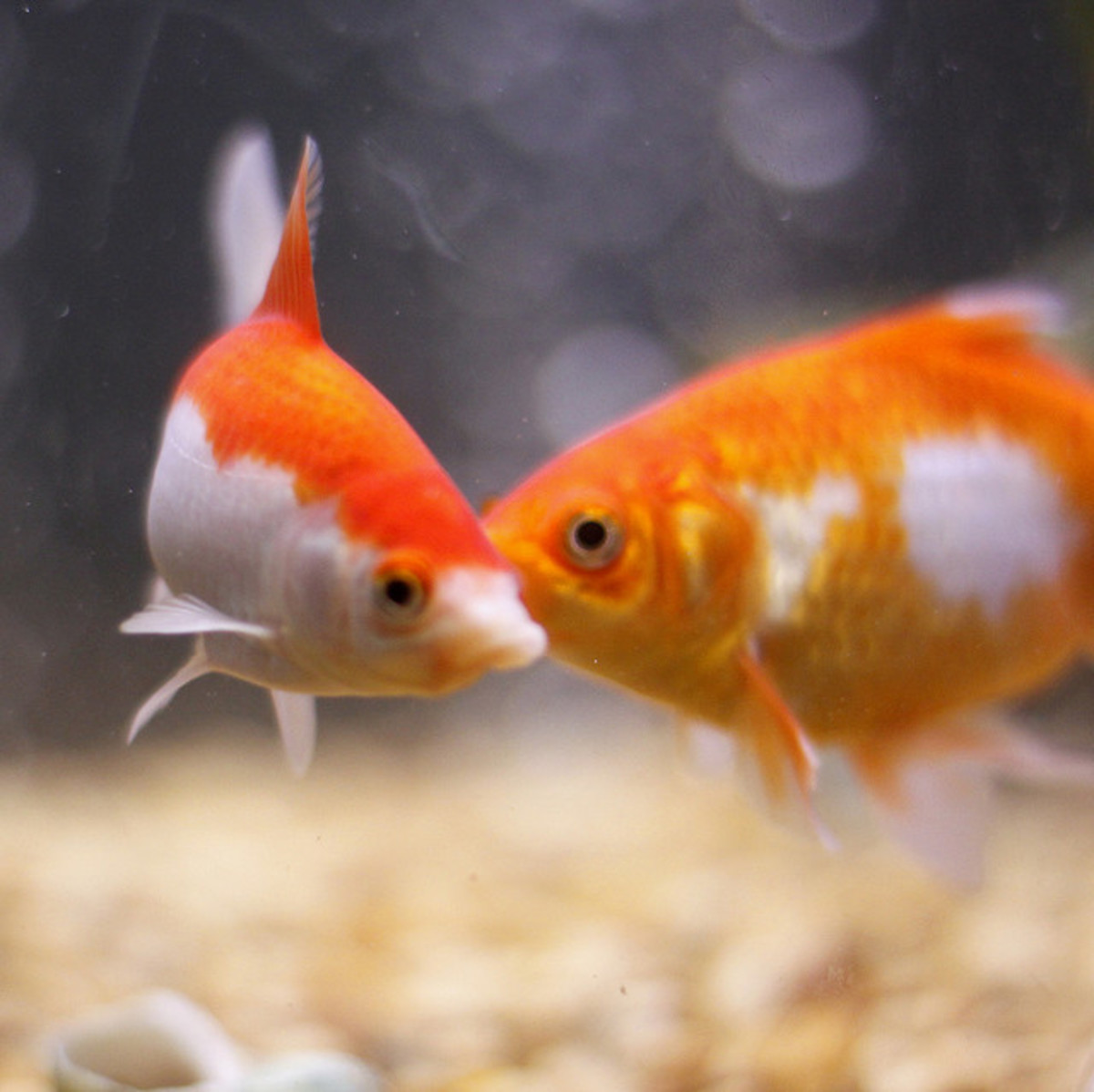 Looks like a Creamsicle and a Twinkie to me. (See the cream-filled center on the goldfish on the right?)