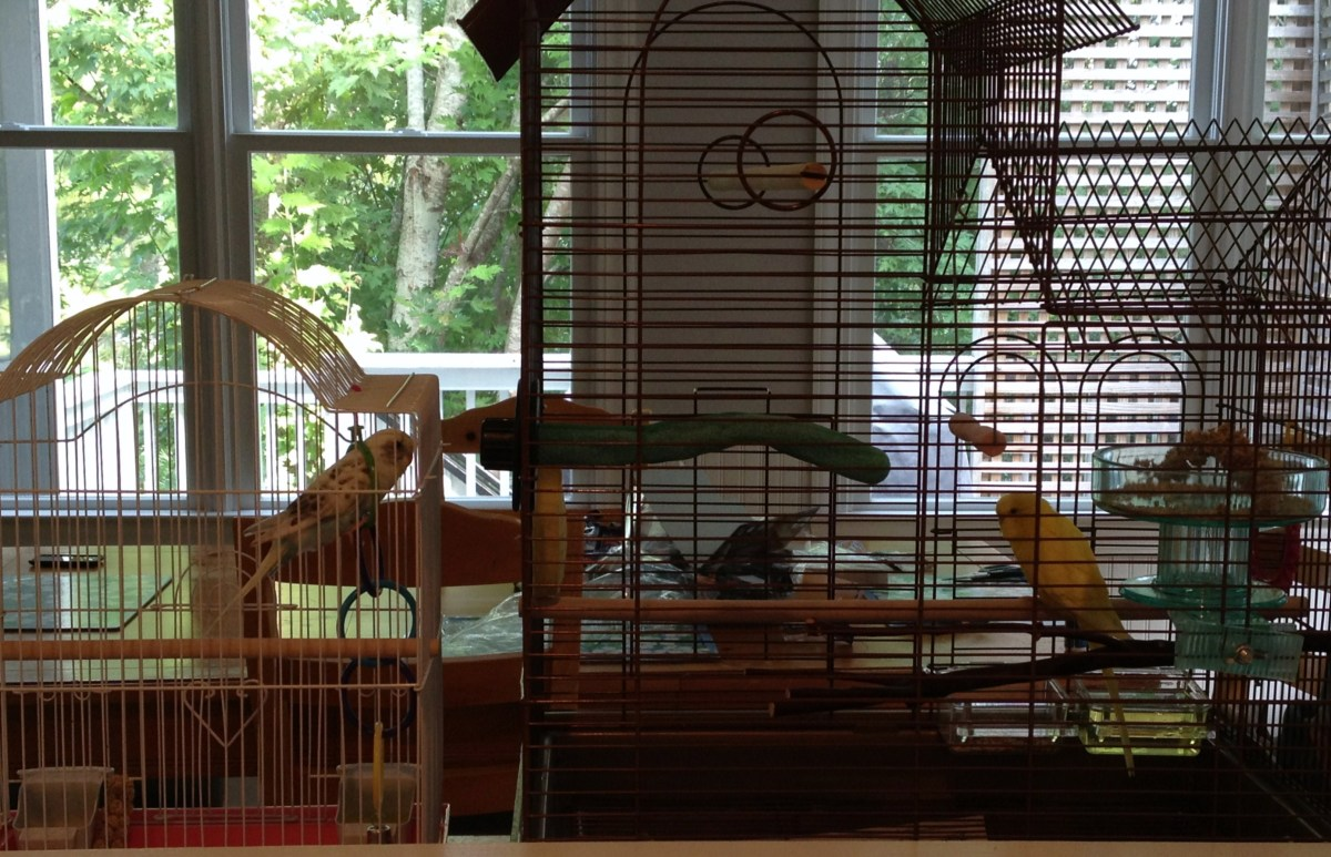 Before adding a new bird to the cage, keep the birds in separate cages that are side by side for a week so they can get used to each other.