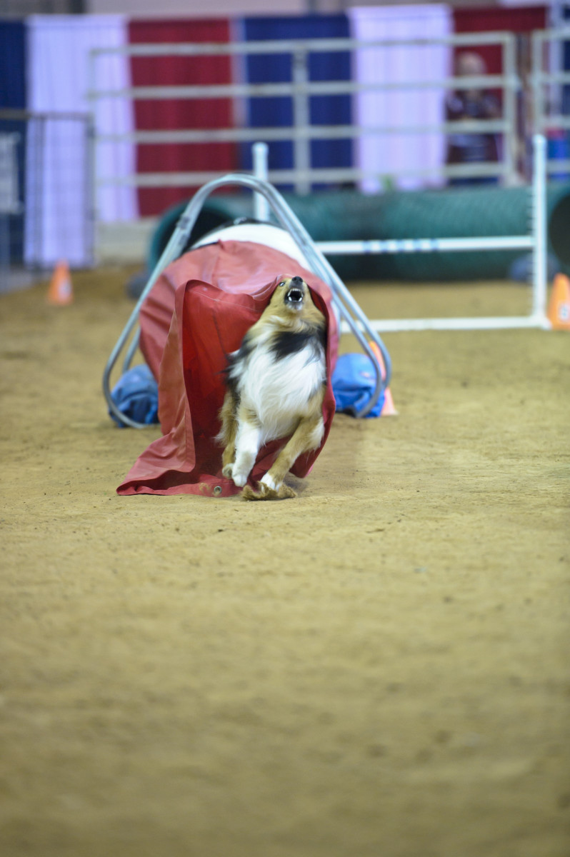 The chute fabric pulling on his face gives this shetie an angry look.