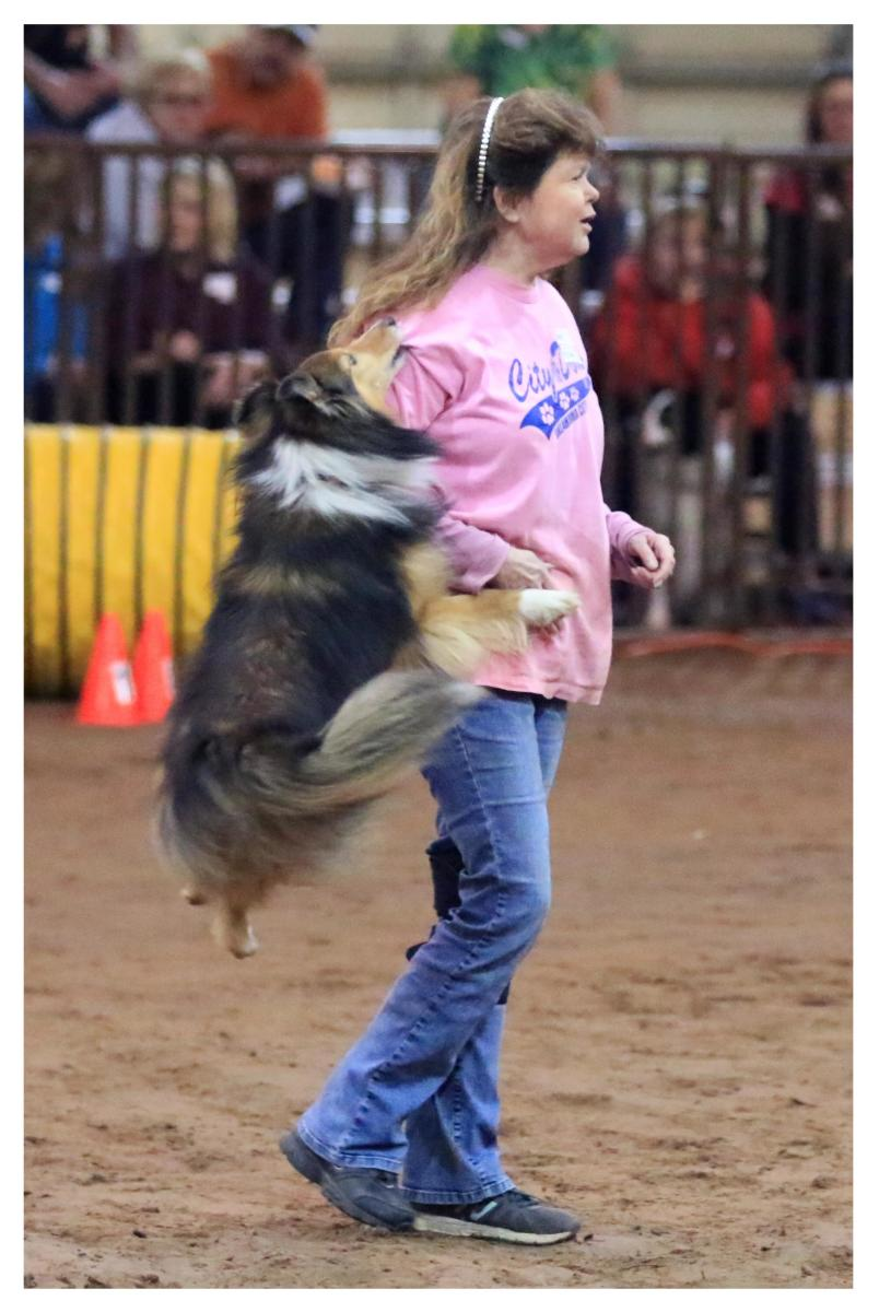 "The author's sheltie performing a major ""don't"" in the ring."