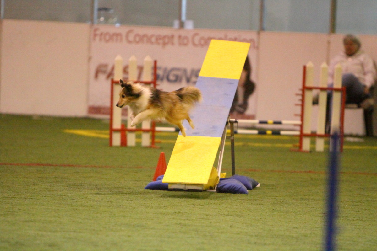 "A sheltie jumping off of a teeter before it hits the ground. Called a ""fly off,"" this is a ""mandatory elimination,"" and means the sheltie didn't qualify on that agility run."