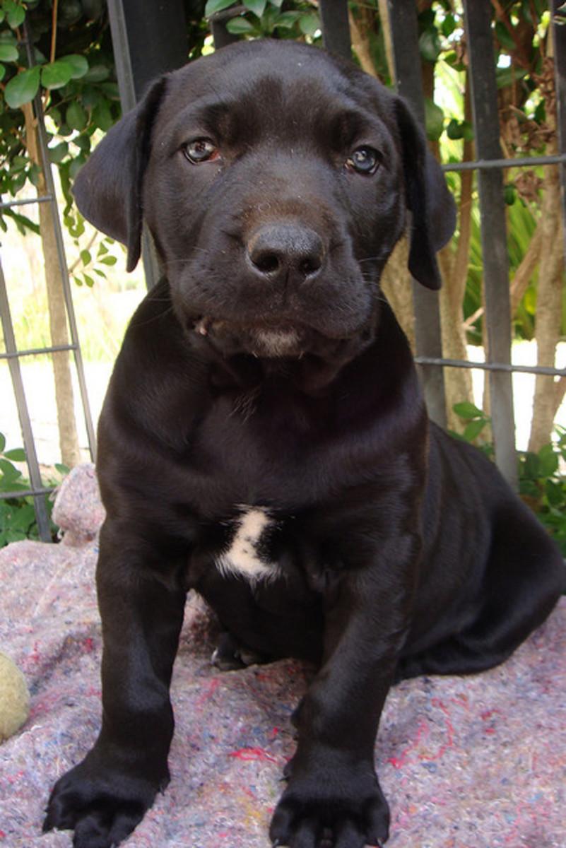 A Fila puppy.