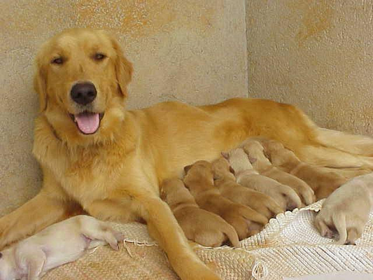 How to Breed Your Female Dog Successfully | PetHelpful