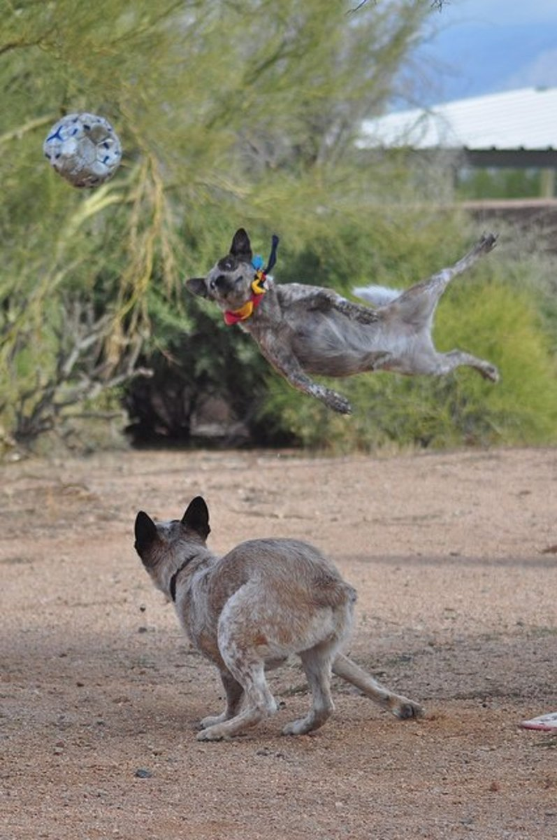 Australian Cattle Dogs at play.