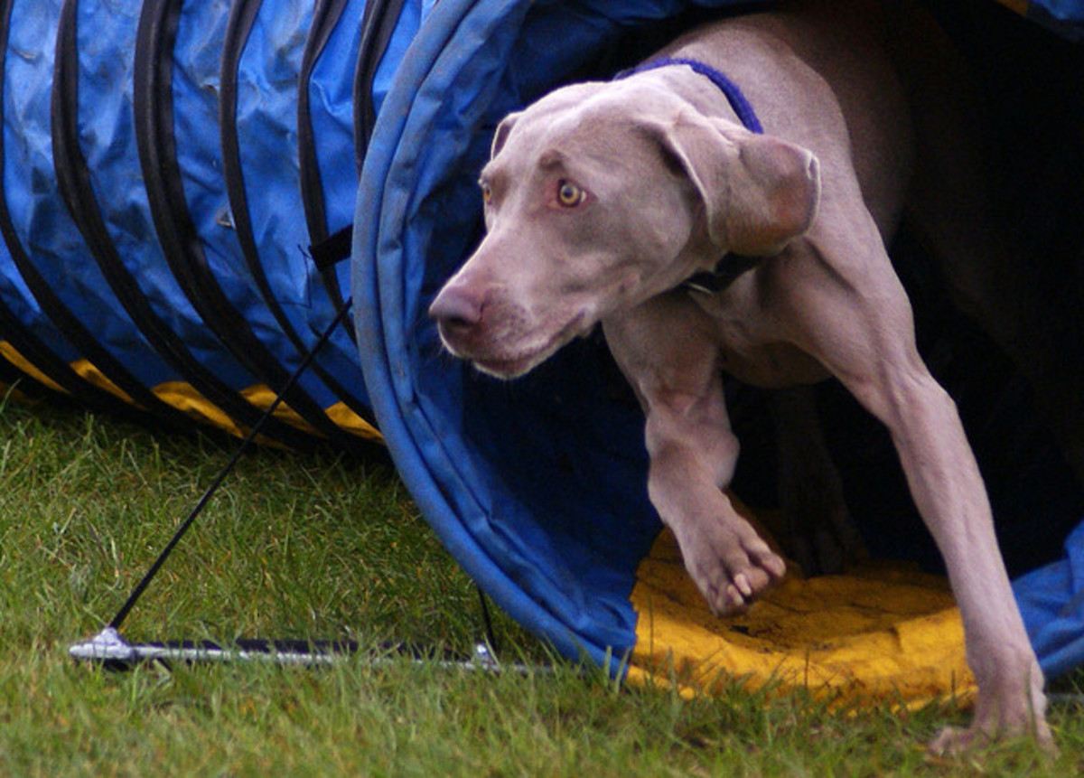 A Weimaraner competing in agility competition.