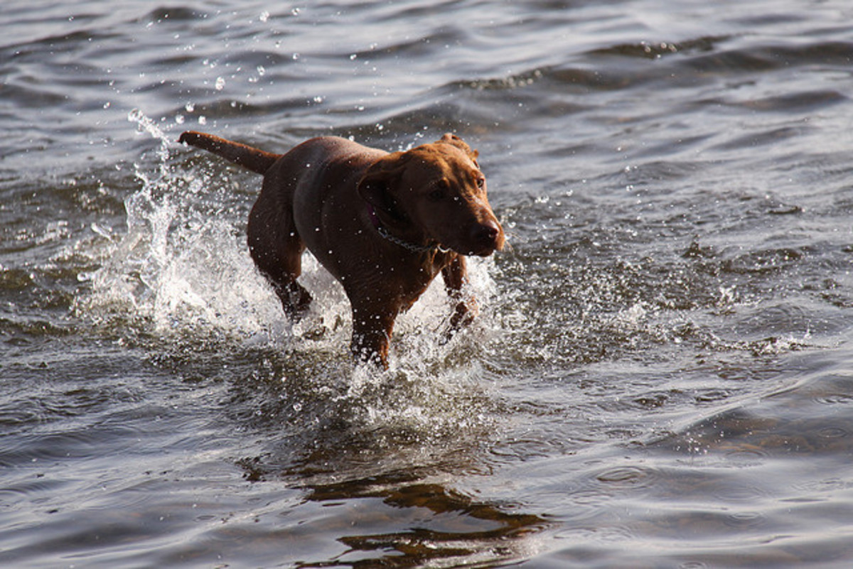 A Vizsla enjoying the water.