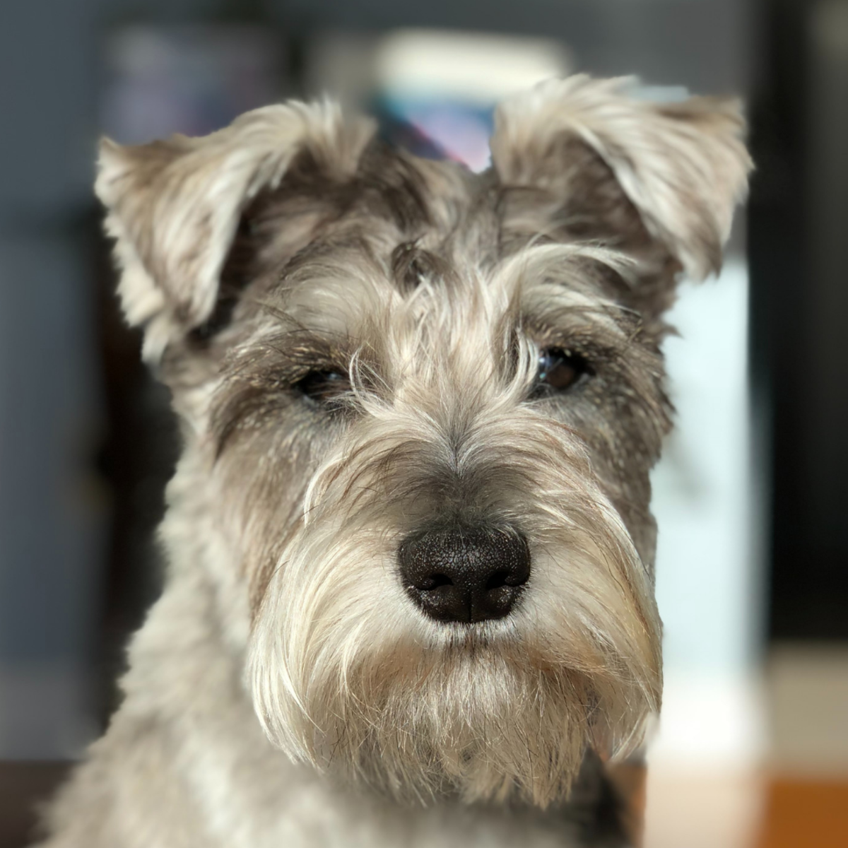 Schnauzers are predisposed to KCS.